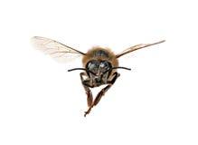 Abeja de la miel que mira derecha usted Imagen de archivo
