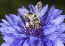 Abeja de la miel que poliniza en cornflower. Foto macra. Fotos de archivo