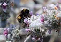 Abeja de la miel que poliniza en la lavanda blanca Fotografía de archivo libre de regalías