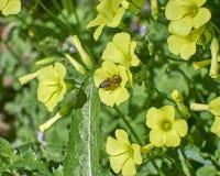 Abeja de la miel que poliniza la flor amarilla salvaje Foto de archivo libre de regalías