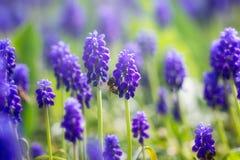 Abeja de la miel que poliniza la flor de la primavera Imagenes de archivo