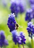 Abeja de la miel que poliniza la flor de la primavera Imagen de archivo