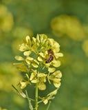 Abeja de la miel que poliniza las flores salvajes Imágenes de archivo libres de regalías