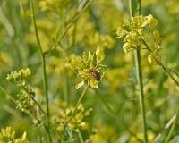 Abeja de la miel que poliniza las flores salvajes Foto de archivo