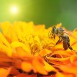 Abeja de la miel que poliniza una flor Imagen de archivo