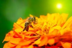 Abeja de la miel que poliniza una flor Fotografía de archivo