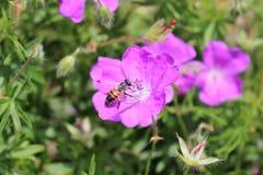 Abeja de la miel que poliniza una flor coloreada violeta Foto de archivo libre de regalías
