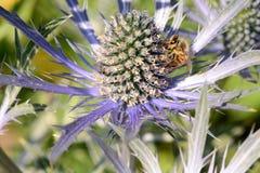 Abeja de la miel que poliniza una flor del eryngium Imagen de archivo libre de regalías
