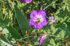 Abeja de la miel que poliniza una flor del geranio del cranesbill, California Fotografía de archivo