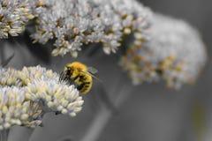 Abeja de la miel que poliniza una flor del sedum Imagenes de archivo