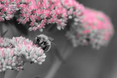 Abeja de la miel que poliniza una flor del sedum Fotos de archivo libres de regalías