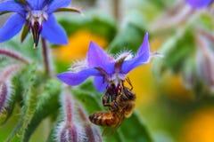 Abeja de la miel que poliniza una flor púrpura Imagen de archivo