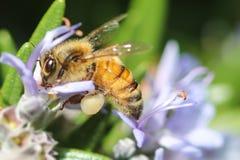 Abeja de la miel que poliniza una flor púrpura del romero Imagen de archivo libre de regalías