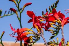 Abeja de la miel que poliniza una flor roja Fotografía de archivo libre de regalías