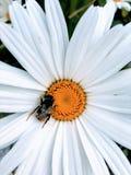 Abeja de la miel que poliniza una margarita blanca común y un pistilo amarillo fotografía de archivo libre de regalías