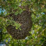Abeja de la miel que pulula en grupo grande Foto de archivo libre de regalías