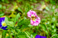 Abeja de la miel que recoge el néctar Imagen de archivo