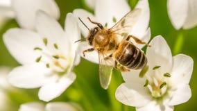 Abeja de la miel que recoge el néctar Imagen de archivo libre de regalías