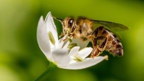 Abeja de la miel que recoge el néctar Imagenes de archivo