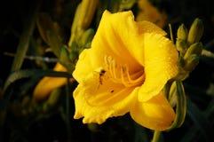 Abeja de la miel que recoge el néctar de la flor amarilla Fotografía de archivo libre de regalías