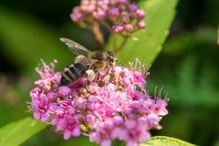 Abeja de la miel que recoge el néctar de la flor color de rosa Fotografía de archivo libre de regalías
