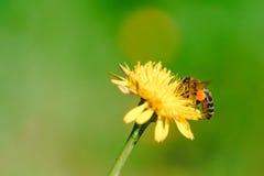 Abeja de la miel que recoge el néctar de la flor del diente de león Imagen de archivo libre de regalías