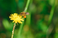 Abeja de la miel que recoge el néctar de la flor del diente de león Imágenes de archivo libres de regalías