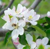 Abeja de la miel que recoge el néctar de la flor del manzano de la primavera Foto de archivo libre de regalías