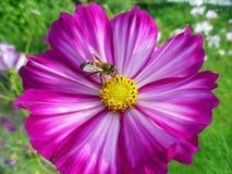 Abeja de la miel que recoge el néctar de una flor del cosmos Foto de archivo libre de regalías