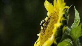 Abeja de la miel que recoge el néctar del girasol Imagen de archivo libre de regalías