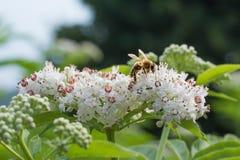 Abeja de la miel que recoge el néctar en la flor blanca Fotografía de archivo libre de regalías