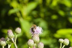 Abeja de la miel que recoge el néctar en la flor del cirsium del cardo con la macro del fondo del bokeh, foco selectivo, DOF bajo Fotos de archivo