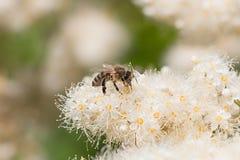 Abeja de la miel que recoge el néctar en los flores blancos Fotos de archivo libres de regalías