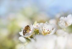 Abeja de la miel que recoge el néctar en los flores de la pera Foto de archivo libre de regalías