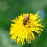 Abeja de la miel que recoge el néctar en un diente de león Imagen de archivo libre de regalías