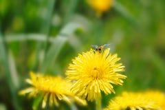 Abeja de la miel que recoge el néctar en un diente de león amarillo Foto de archivo libre de regalías