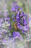 Abeja de la miel que recoge el néctar en un flor de la lavanda Fotos de archivo libres de regalías