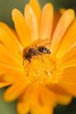 Abeja de la miel que recoge el néctar y el polen Fotos de archivo