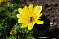 Abeja de la miel que recoge el n?ctar fotografía de archivo