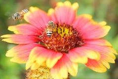 Abeja de la miel que recoge el polen Fotografía de archivo libre de regalías