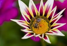 Abeja de la miel que recoge el polen Fotografía de archivo