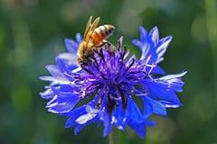 Abeja de la miel que recoge el polen Imágenes de archivo libres de regalías