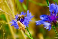 Abeja de la miel que recoge el polen Imagenes de archivo