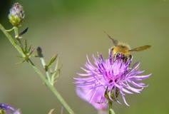 Abeja de la miel que recoge el polen Imagen de archivo