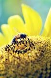 Abeja de la miel que recoge el polen Imagen de archivo libre de regalías