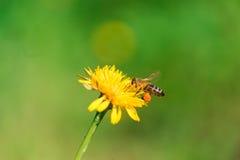 Abeja de la miel que recoge el polen Foto de archivo libre de regalías