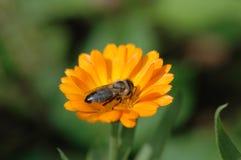 Abeja de la miel que recoge el polen Fotos de archivo libres de regalías