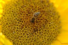Abeja de la miel que recoge el polen Foto de archivo