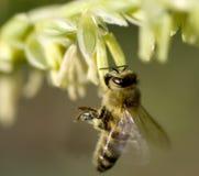 Abeja de la miel que recoge el polen de la flor del maíz Imagen de archivo libre de regalías