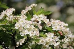 Abeja de la miel que recoge el polen de las flores blancas Fotos de archivo